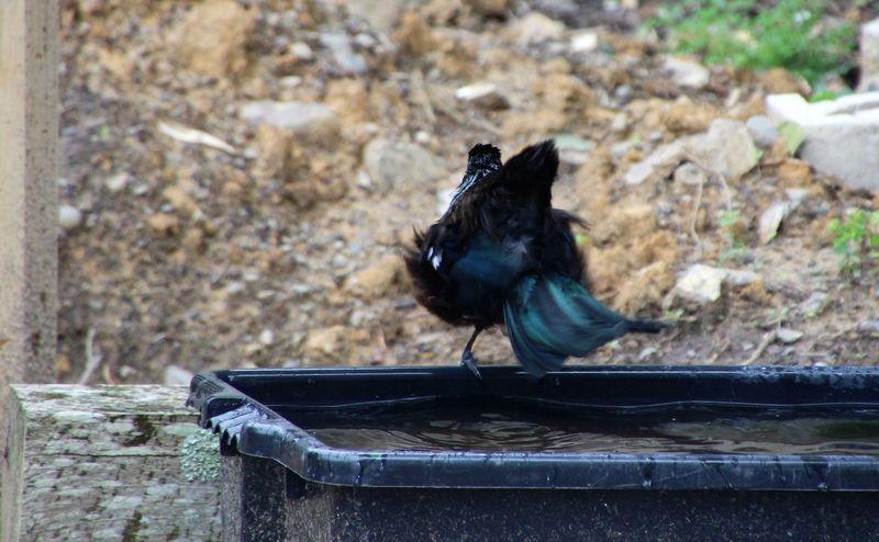 Animal Animal Themes Animals In The Wild Avian Beak Bird Birdbath Crow Day Focus On Foreground Full Length Nature No People One Animal Outdoors Raven - Bird Selective Focus Tranquility Tui Wildlife Zoology