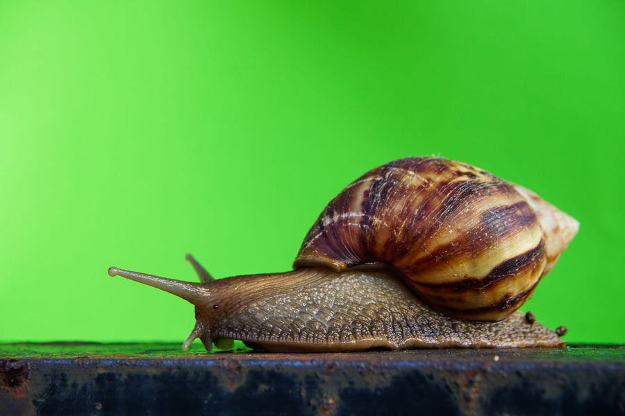 Animal Themes Animals In The Wild Close-up Day Gastropod Nature No People One Animal Outdoors Snail Wildlife