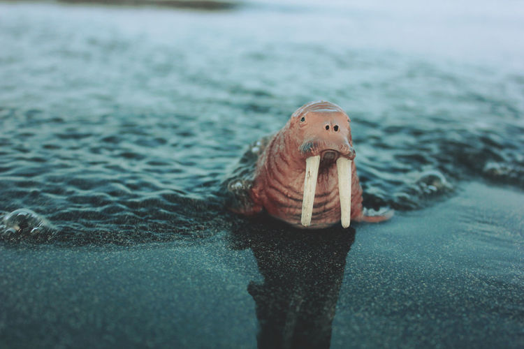 View of walrus miniature in water
