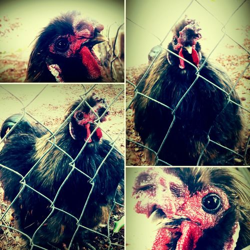 Fowl Play!!! Guard Chicken Attacked Me Through The Fence Mother Clucker Trinidad And Tobago Taking Photos The Places I've Been Today EyeEm Nature Lover
