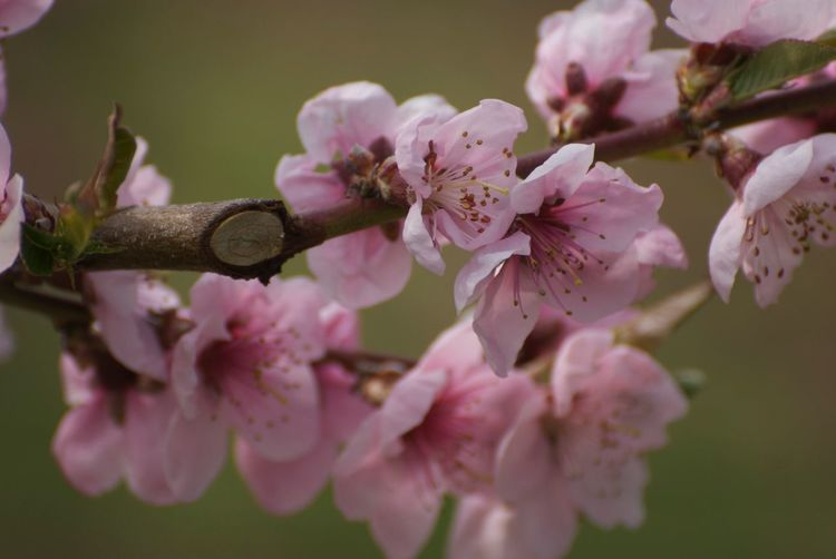 Peach blossoms Peach Blossom Flowering Plant Flower Plant Fragility Freshness Beauty In Nature Growth Vulnerability  Pink Color Close-up Blossom Petal Springtime Branch Tree Inflorescence Flower Head Day Nature Selective Focus