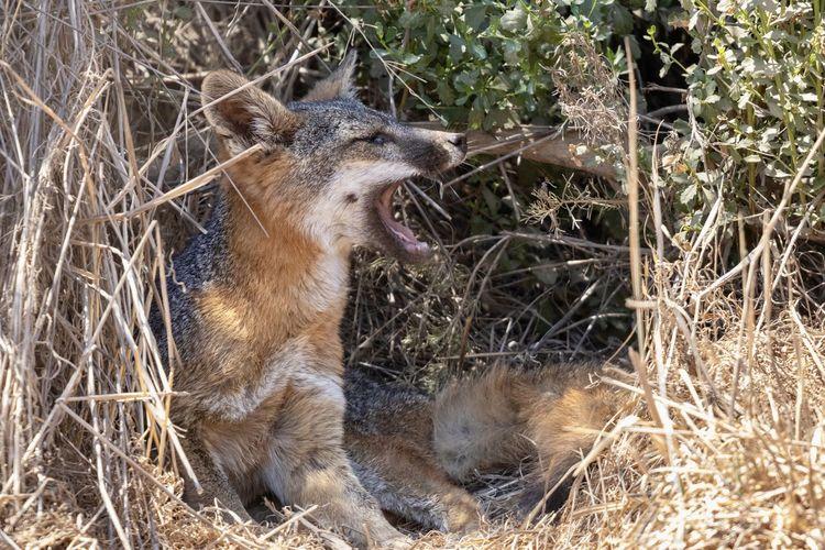 Catalina Island Fox in its den Hunter Animal Wildlife Animals In The Wild Catalina Island Fox Cute Day Fox Mammal Nature No People Outdoors Plant Predator Small Wildlife