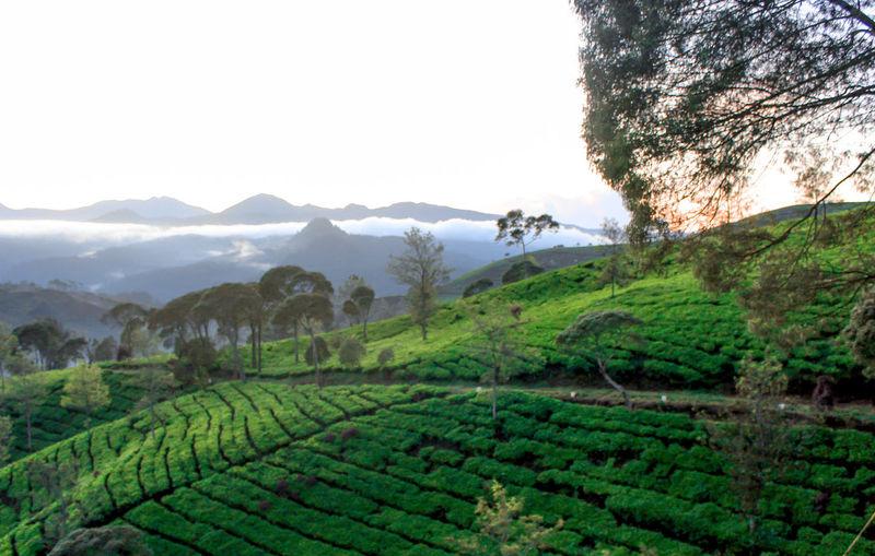 Morning in the tea garden Tea Crop Tree Mountain Rural Scene Agriculture Beauty Terraced Field Field Social Issues Crop  Agricultural Field