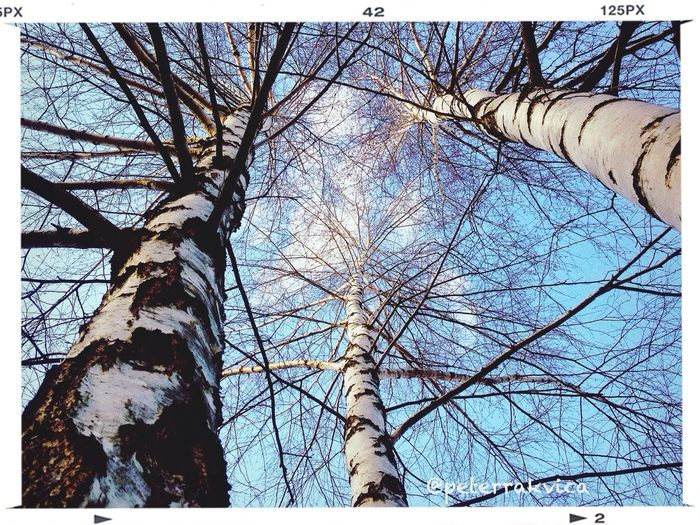 Treetops birches #birch Trees #crown Branches #lop Sky #winter #trencin #snapseed #vscocam #iphonephoto Iphonephotography