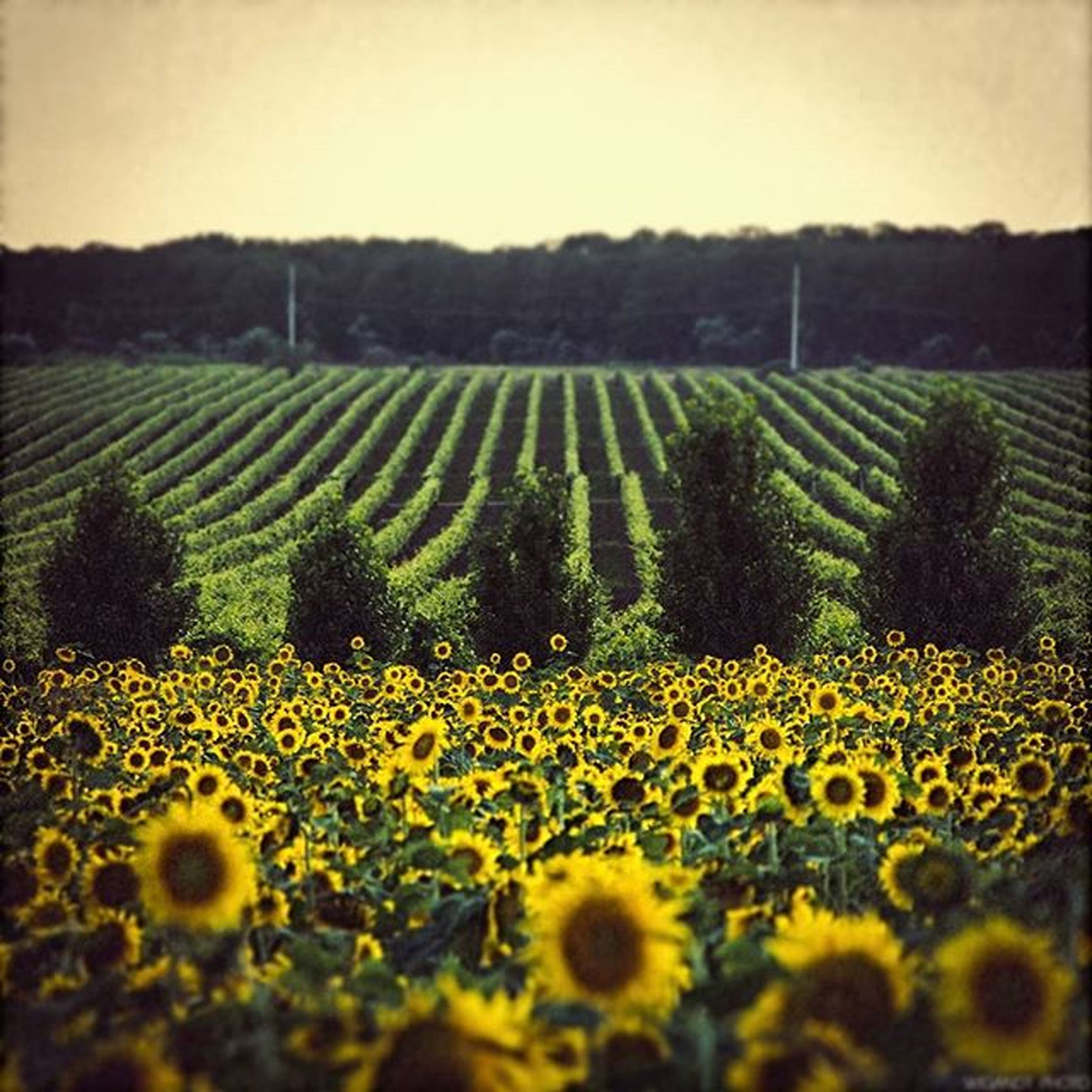 flower, yellow, field, agriculture, growth, rural scene, beauty in nature, freshness, landscape, nature, tranquil scene, farm, fragility, sunflower, crop, tranquility, scenics, abundance, plant, cultivated land