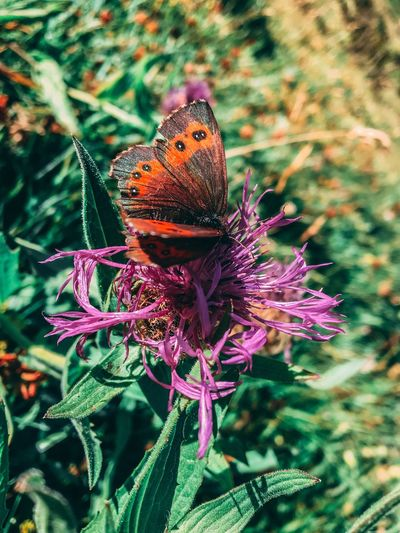 Insect Butterfly - Insect Animals In The Wild Animal Themes Nature Flower Plant One Animal No People Beauty In Nature Fragility Day Outdoors Butterfly Growth Purple Focus On Foreground Close-up Animal Wildlife Leaf First Eyeem Photo