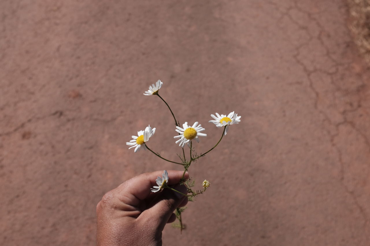 Page 2 of Daisy pictures | Curated Photography on EyeEm