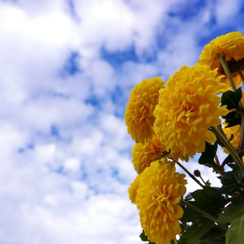 Low angle view of yellow chrysanthemums blooming against cloudy sky