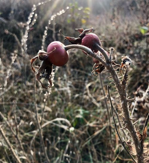 Plant Growth Food Nature Fruit Day No People Outdoors Selective Focus Tranquility Beauty In Nature