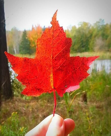 Iamcanadian Canadian Canadiannature Nature Maple Leaf Outdoors Country Living Countrylife