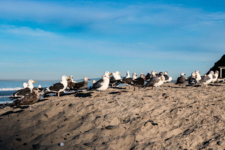 Animals In The Wild Large Group Of Animals Animal Wildlife Bird Flock Of Birds Animal Animal Themes Outdoors Nature Sea Group Of Animals Beach No People Day Colony Blue Sand Sky Beauty In Nature Moonlight Beach Encinitas California