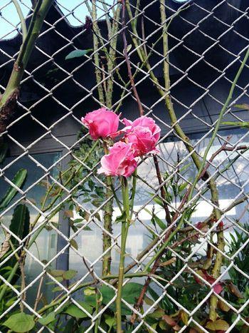 Flower Power Flower Roseflower Onthestreet Flowers Beautifulflower  Loveflower