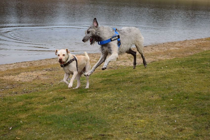 Domestic Animals Water Pets FUNNY ANIMALS Funny Moments Funnypictures Labrador Winter 2017 Playing Dogs Dogs Of Winter Dog Of The Day Dogwalk March 2017 Dogs Of EyeEm Water_collection Dogslife Neustädter See How Is The Weather Today? Irish Wolfhound Cearnaigh Playing Togetherness A Walk In The Park Running Animal Themes