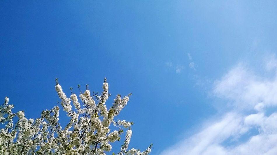 Kirschblüten  Kirschen  Kirschbaum Nature Nature Photography Frühling 2016 🌾 Frühlingssonne Frühlingsgefühl Sky Himmel Naturlovers Naturlife Naturliebhaber