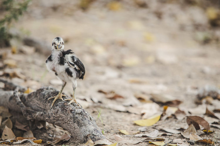 Baby Chicken Perching On Root Amidst Dry Leaves