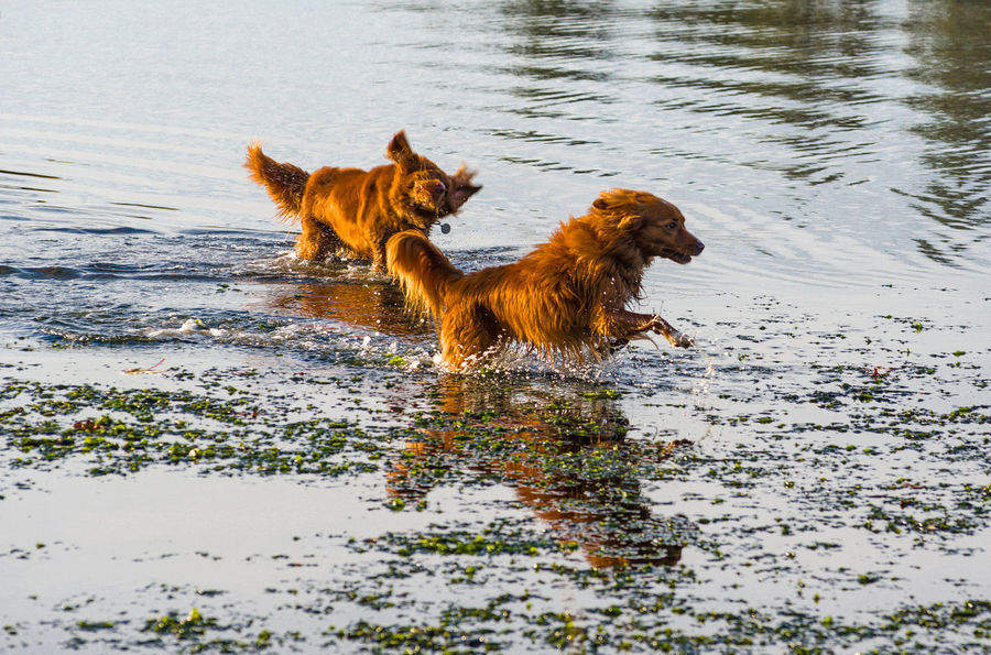 Nova Scotia Duck Toller Animal Animal Themes Brown Canine Day Dog Dogs Running At Beach Domestic Domestic Animals Lake Mammal Motion Nature No People One Animal Outdoors Pets Running Vertebrate Water