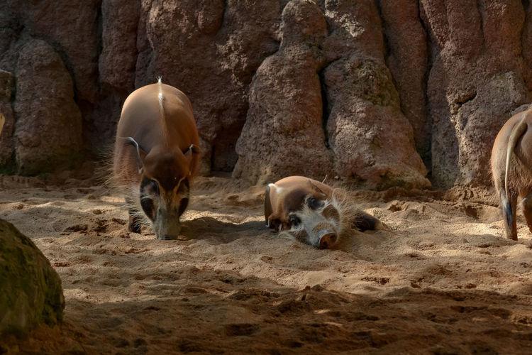 Boar in a desert