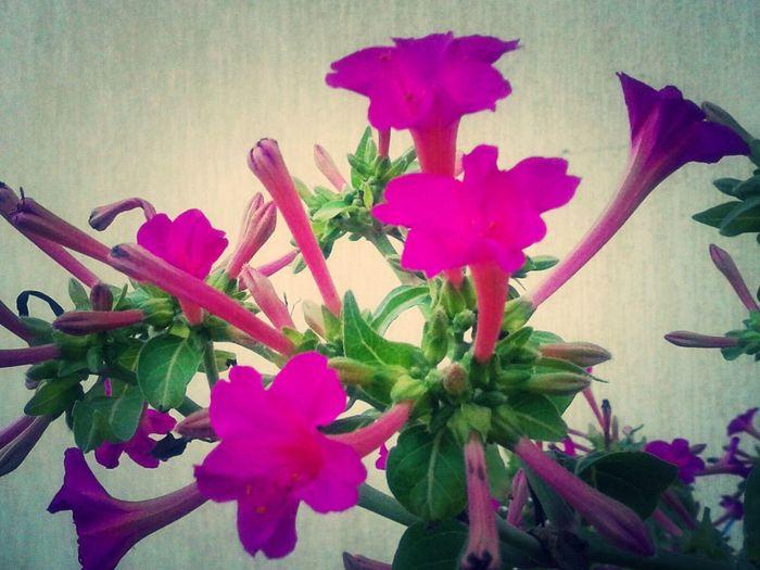 Mirabilis jalaba Flowers,Plants & Garden InTheGarden OurColorfulPlanet in Azzawya #Libya