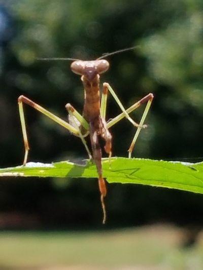 Praying Mantis Bug nature Insect