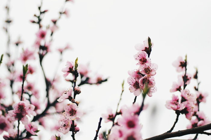 """""""Spring"""" EyeEm Selects Flower Flowering Plant Plant Blossom Freshness Fragility Pink Color Growth Beauty In Nature Tree Springtime Vulnerability  Nature Branch No People Close-up Focus On Foreground Sky Day Inflorescence"""
