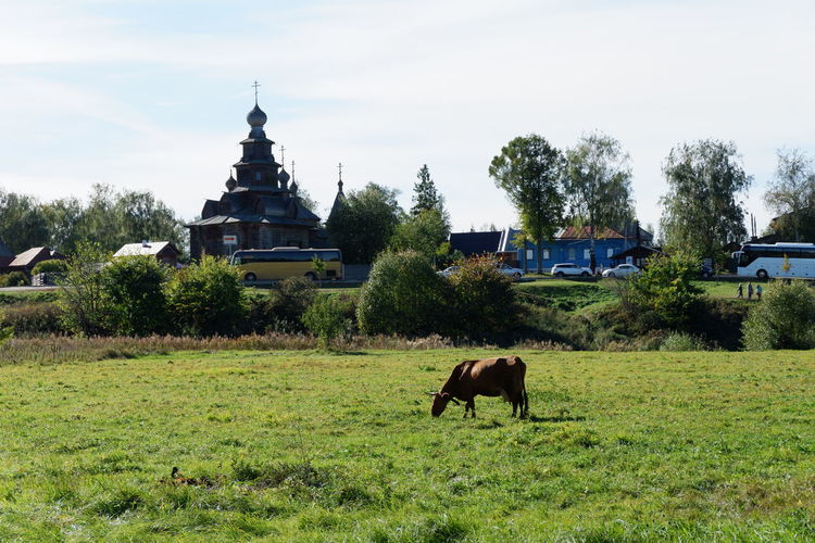 Russia Animal Animal Themes Architecture Building Exterior Built Structure Cow Domestic Domestic Animals Field Grass Grazing Herbivorous Land Livestock Mammal Nature No People Outdoors Pets Plant Russianvillage Sky Tree Vertebrate EyeEmNewHere