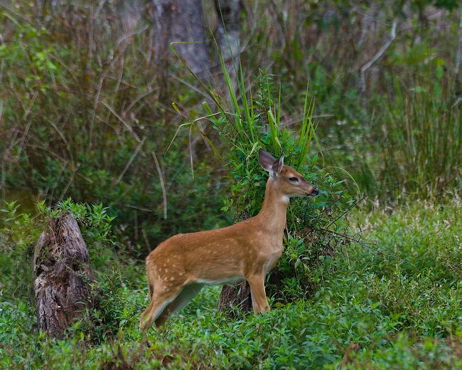 Side view of deer standing in field