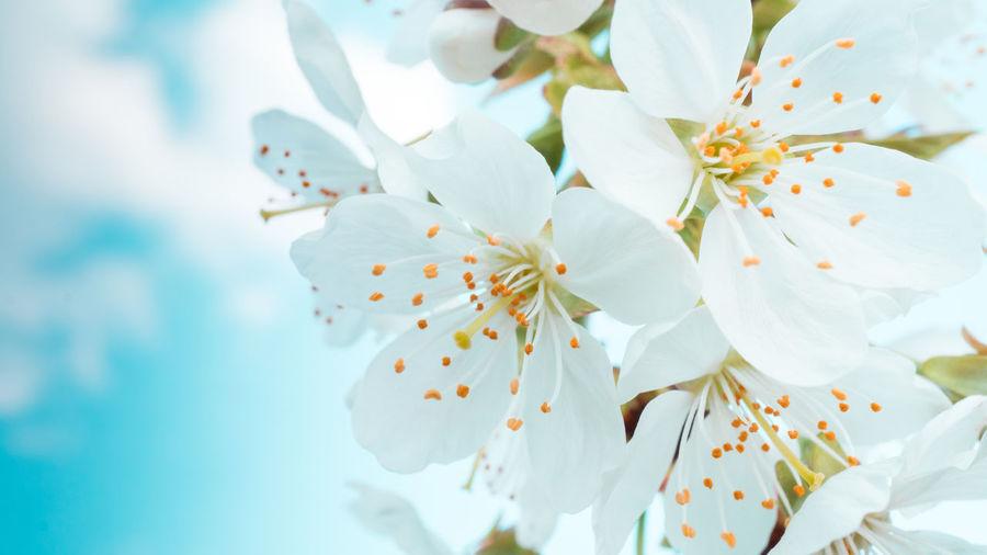 Blossom White Spring Tree Cherry Blossom Sky Clouds Freshness