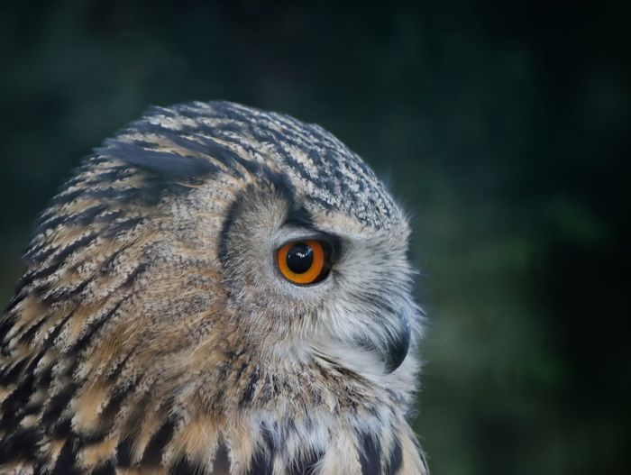 Close-up of aan eagle owl