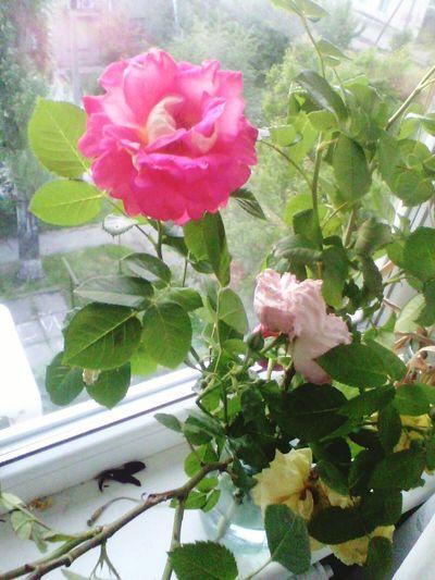 Flower Nature Goodnight Beauty In Nature Iokov Kherson Ukraine Night троянда ружа квіти файно Emotion Rouse емоції