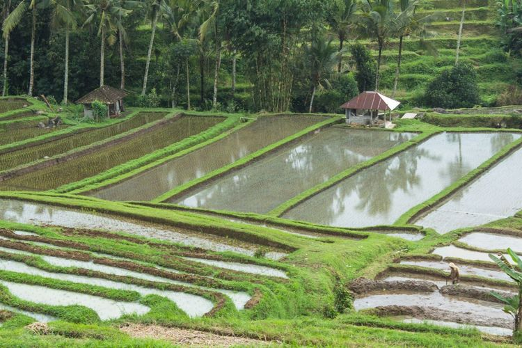 Rice terraces Plant Growth Green Color Tree Nature Agriculture Field Day Landscape Water Land No People Farm Scenics - Nature Rural Scene Tranquility Rice - Cereal Plant Environment Beauty In Nature Outdoors