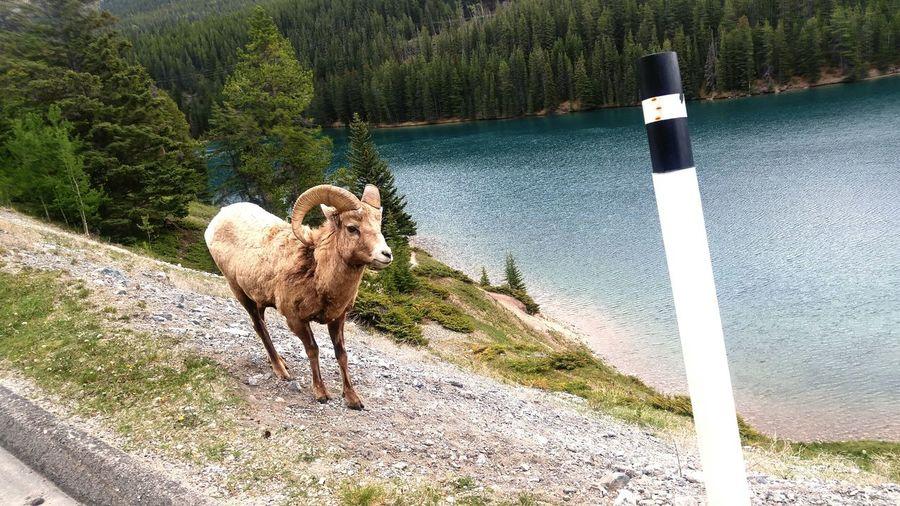 Big Horn Ram.two Jack Lake Banff Alberta