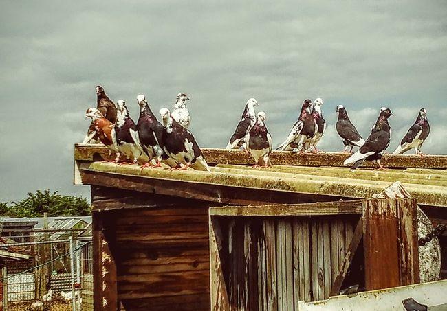 Pigeon Loft Birds Flock Of Birds Shed