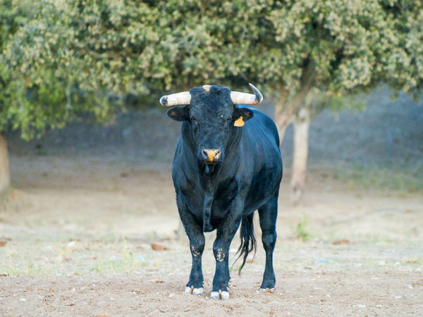 Bull Dangerous Animals Farm Animals Freedom Looking At Camera Power SPAIN Animal Themes Black Bull Bullfighting Bulls Danger Dehesa Domestic Animals Full Length Horned Mammal Nature One Animal Powerful Powerful Animals Rural Scene Toro Toro Bravo Toros The Week On EyeEm