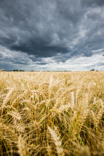 Scenic view of wheat field against cloudy sky