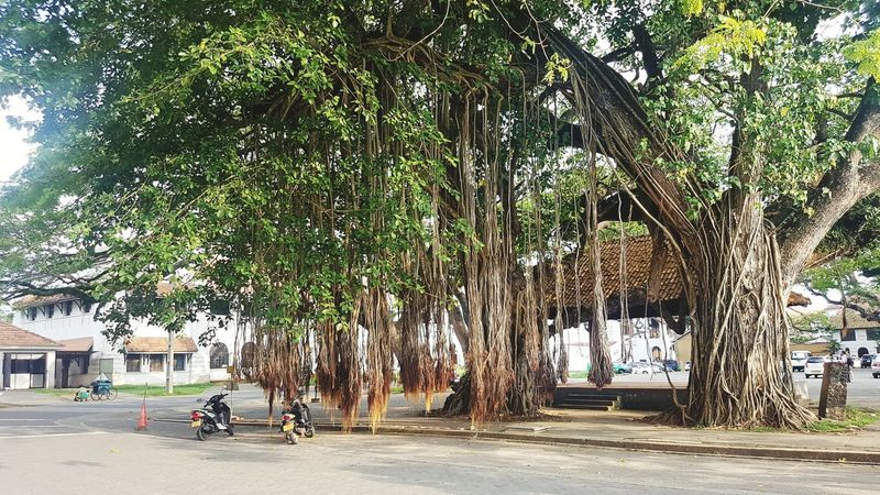 Tree Outdoors Nature Tropical Climate Sri Lanka Old Tree Dutch Fort Galle Fort Historical Tourism Tourism Destination Hanging Roots