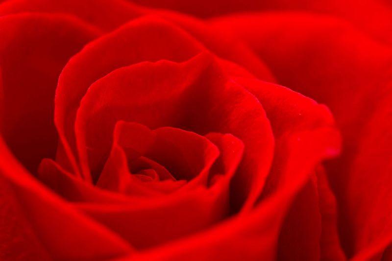 Rose Rose🌹 Flowers Red Colour Of Life Color Palette Maximum Closeness
