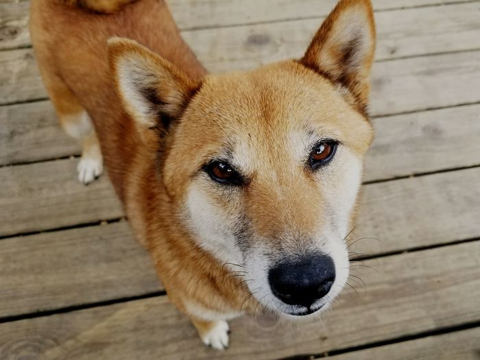 Shiva the Shiba Inu. EyeEm Selects Dog Portrait Looking At Camera Domestic Animals Close-up Animal Outdoors Day No People EyeEmNewHere Pet Portraits