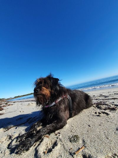 View of dog on beach against clear blue sky