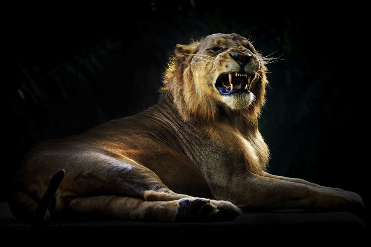 Close-Up Of Lion Roaring In Forest