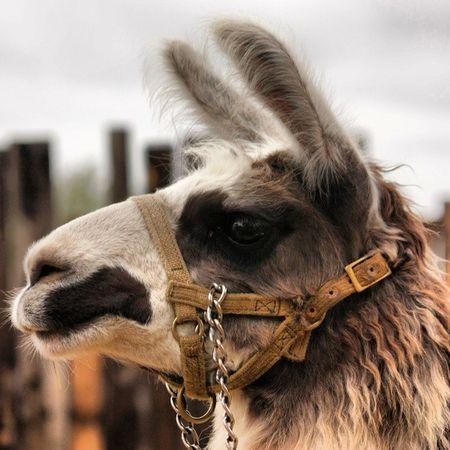 Ewwww LLama face!! Emperorsnewgroovestyle at the Arizonarenaissancefestival with @davidcatomsw Llama Llama Face