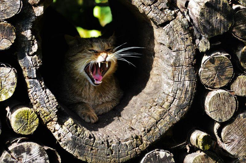 Miaw Cat Feline Felis Silvestris Gato Montes Gato-bravo Gato-selvagem Katze Mammal Nature Whisker Wildcat Wildcats Wildkatze 山猫 猫