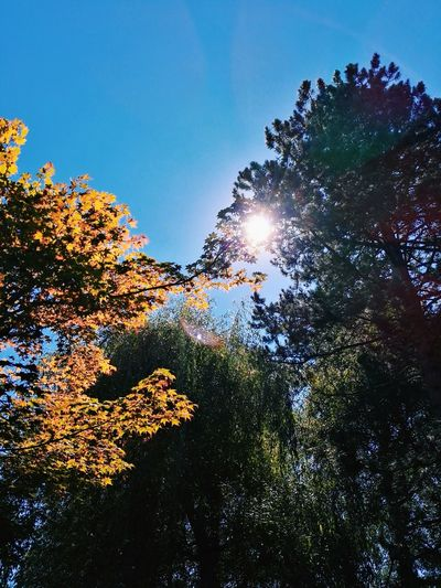 Fall Is Coming Fall Is Coming! Fall Is Around The Corner Low Angle View Tree Sun Growth Sunlight Blue Beauty In Nature High Section Clear Sky Scenics Branch Nature Sunny Sky Day Tranquility Tranquil Scene Sunbeam Treetop Outdoors