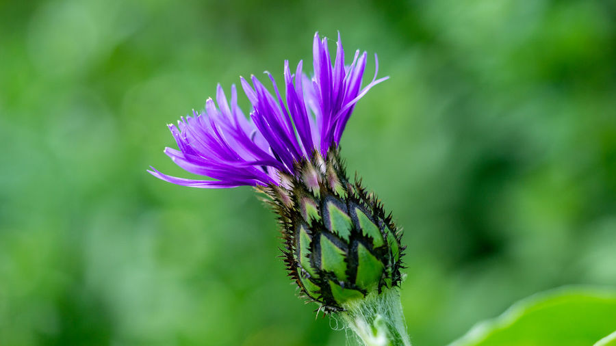 Flower Head Flower Insect Purple Thistle Petal Close-up Plant Blossom
