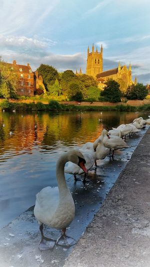 'EveningAblutions' The secret of Beauty is simple. 2-3 hours preening in the morning, frequent preening throughout the day. ...Oh and don't forget, a minimum 2 hours of preening during the evening! 😄👍 43 Golden Moments Golden Hour Water Reflections Cathedral I Love My City Swan River River Riverside River Severn Worcester England 🌹 Exceptional Photographs Striving For Excellence Enjoying Life Dreaming Swan Sunset Colourful Nature EyeEm Best Edits EyeEm Nature Lover My Cloud Obsession☁️ Summertime