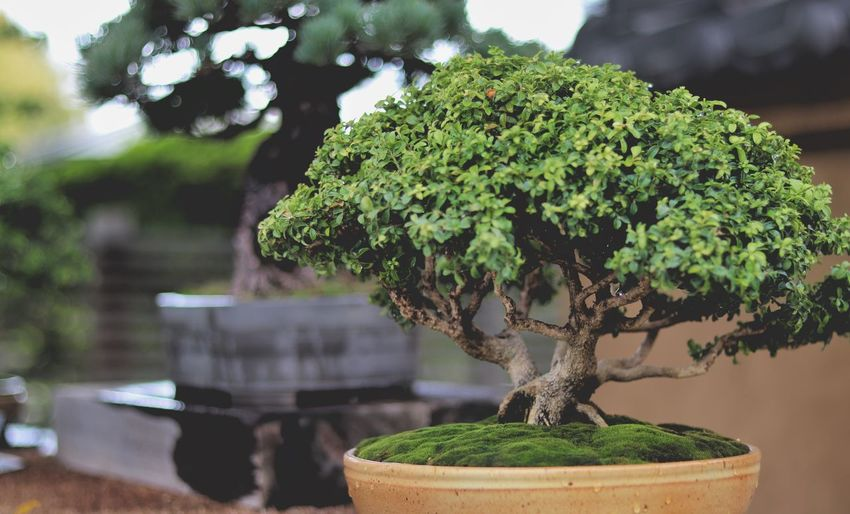 Close-up of small potted bonsai tree and moss
