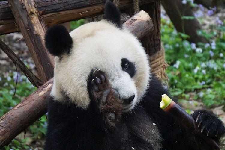 Close-up of panda eating food