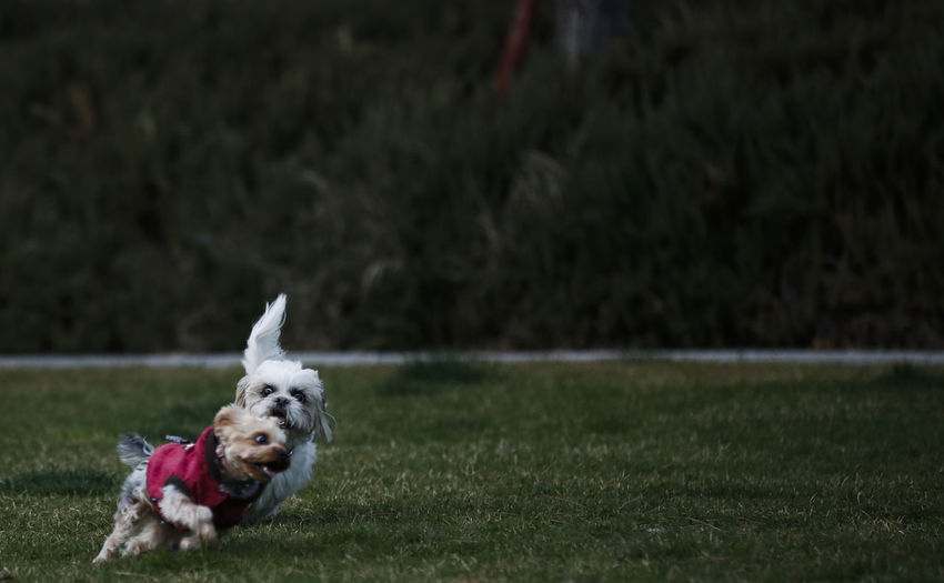 One Animal Canine Dog Animal Themes Mammal Pets Animal Domestic Domestic Animals Running Motion Grass West Highland White Terrier Plant Day Lap Dog No People on the move Nature Small Shih Tzu Outdoors