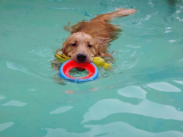 Summer Dogs Goldenretriever Dog Swimming