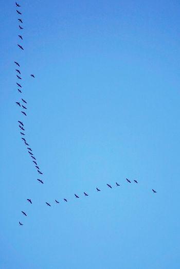 Flock Of Birds Flying In Clear Blue Sky