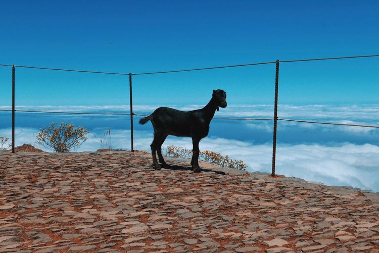Wild Goat Standing On Observation Point Against Clear Blue Sky